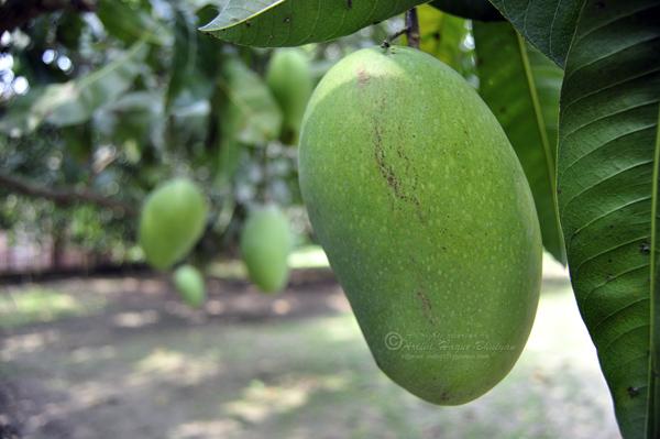 Mango of Kania Dighi Mango garden