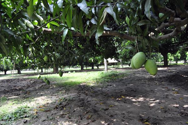 Kania Dighi Mango garden