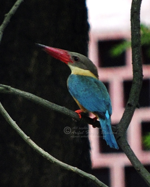 Storked-billed Kingfisher
