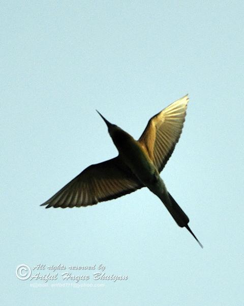 Green Bea-eater