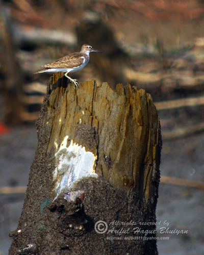Common Sandpiper.. this is a record of very early visit of a winter bird